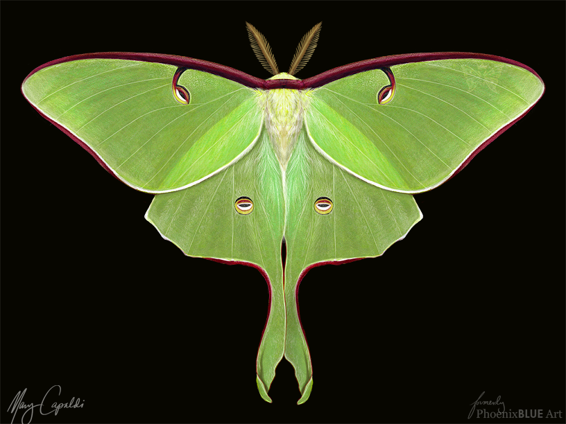 Luna moth scientific illustration - photo#14